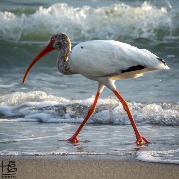 White Ibis walking beach