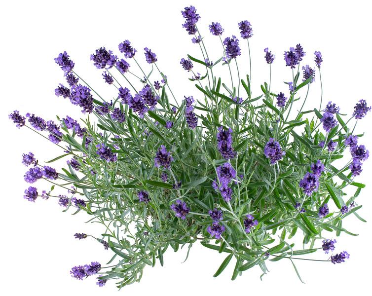 LavendelStock2.jpg