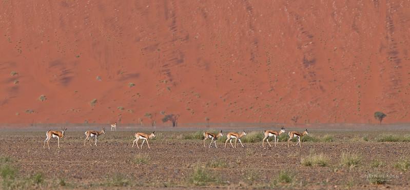 Springbok, Sossasvlei, Namibia, July 2011.jpg