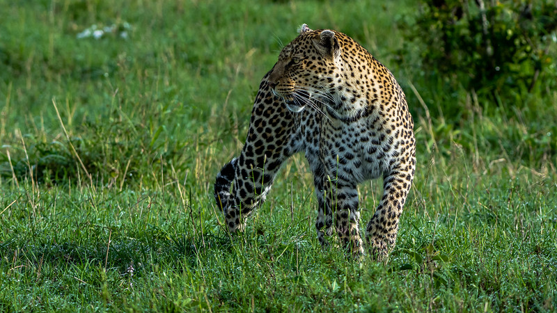 Leopards-0106.jpg