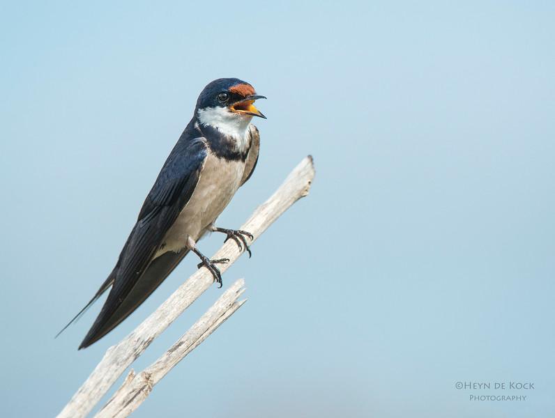 White-throated Swallow, Pilansberg National Park, SA, Dec 2013-3.jpg