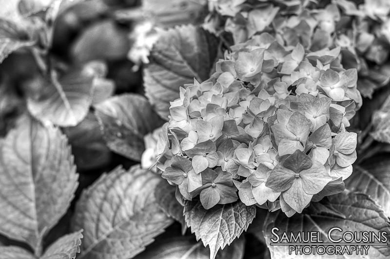 Hydrangeas in black and white.