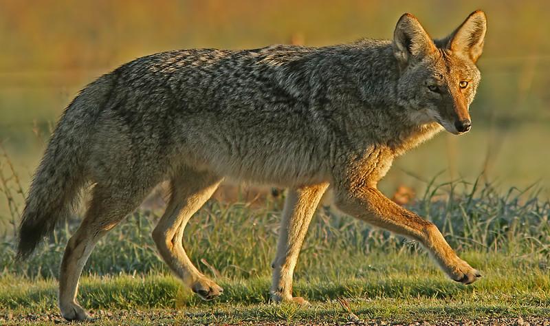 coyoteatpassA1600neated.jpg