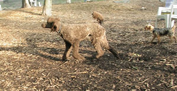 LUCY, ETHEL (poodles)