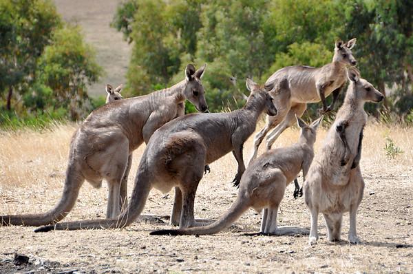 Australia @ Oceania