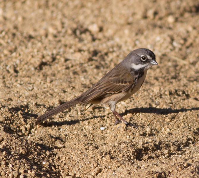 Bell`s Sparrow  Mt. Israel Escondido 2015 02 05-12.CR2