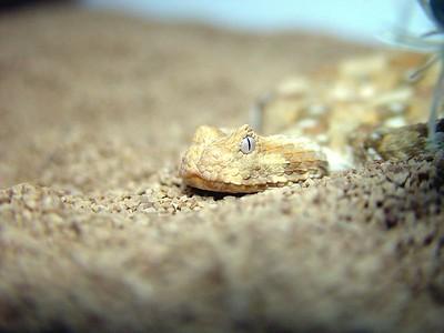 Bitis caudalis
