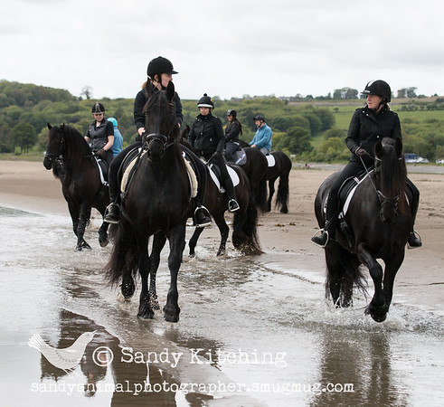 8 Friesians - 1 big beach! May 2015