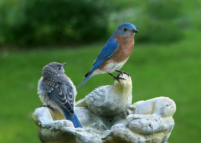 bluebird_my_dad.jpg
