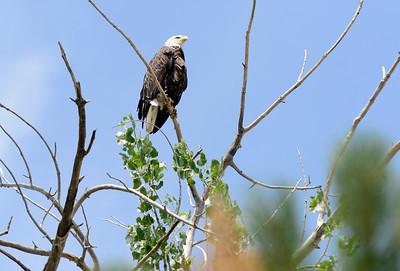 Photos: Boulder County Bald Eagles