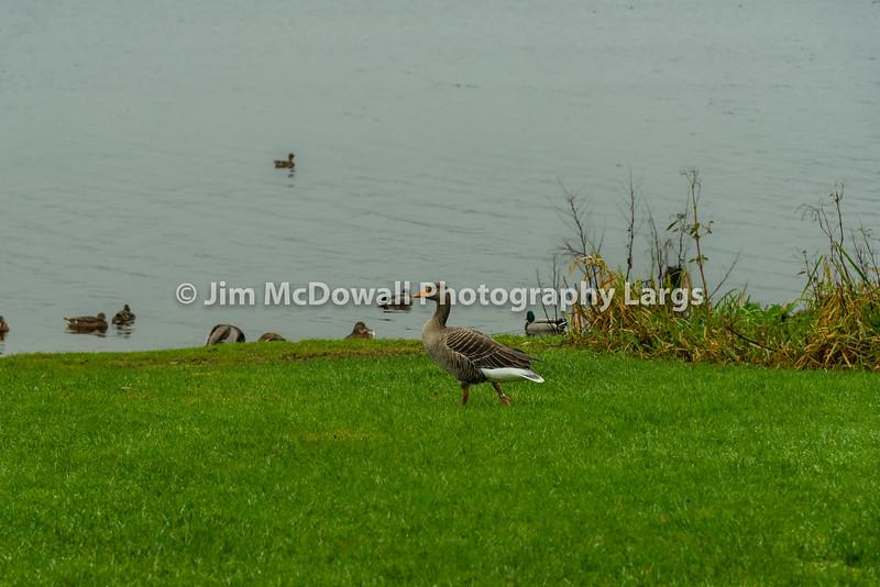Beautiful Mallard Duck Orange Beak Walking forward