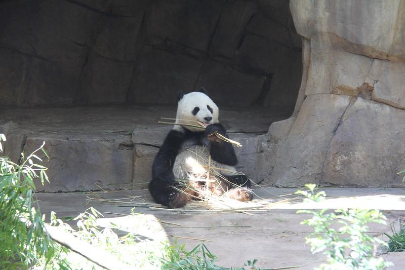20170807-139 - San Diego Zoo - Giant Panda.JPG
