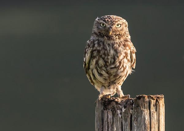 LITTLE OWL (OWL OF ATHENA)