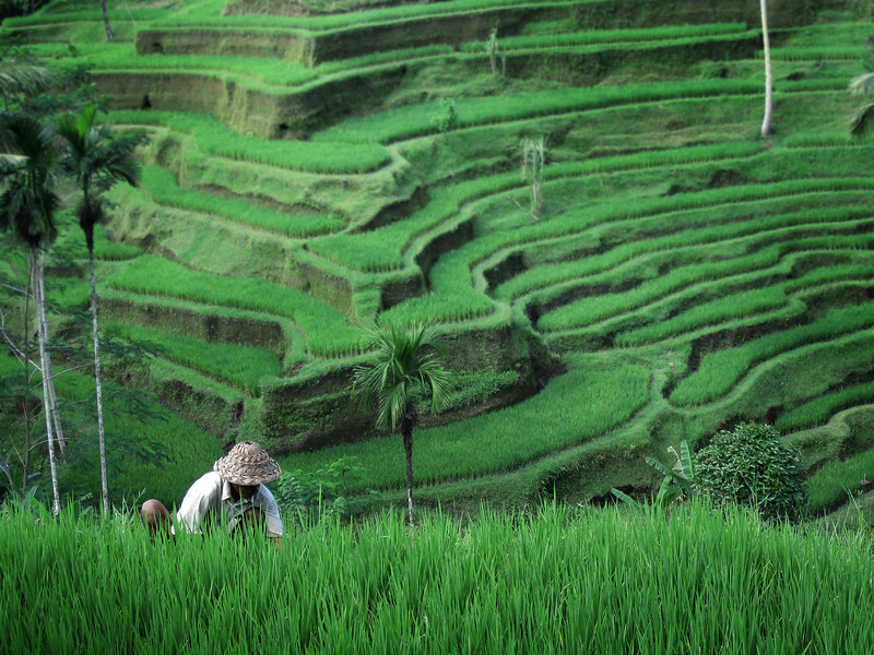 Tegalalang rice terraces, Bali, Indonesia
