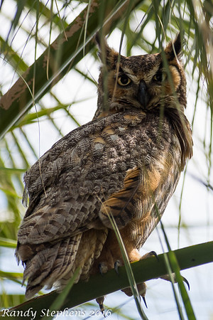 Fort Desoto Grat Horned Owls