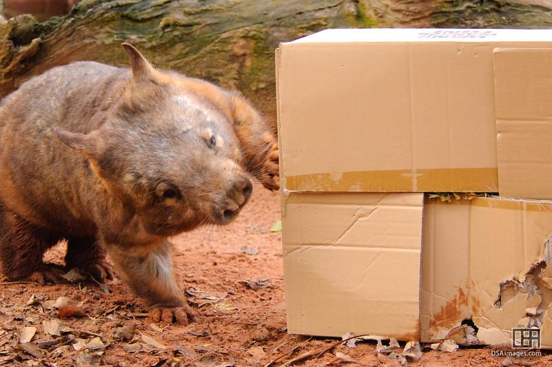"""Digger"" the Southern Hair-nosed Wombat (Lasiorhinus latifrons)"