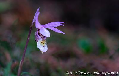 Calypso bulbosa Orchid