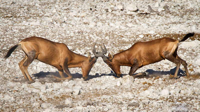 Red Hartebeest males fighting with their horns, in Etosha National Park, Namibia.