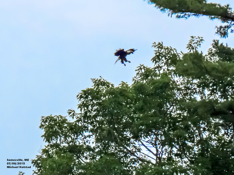 a708 928 20150725_287 3T Bald Eagle landing Somesville ME 708 1128 - Copy.jpg