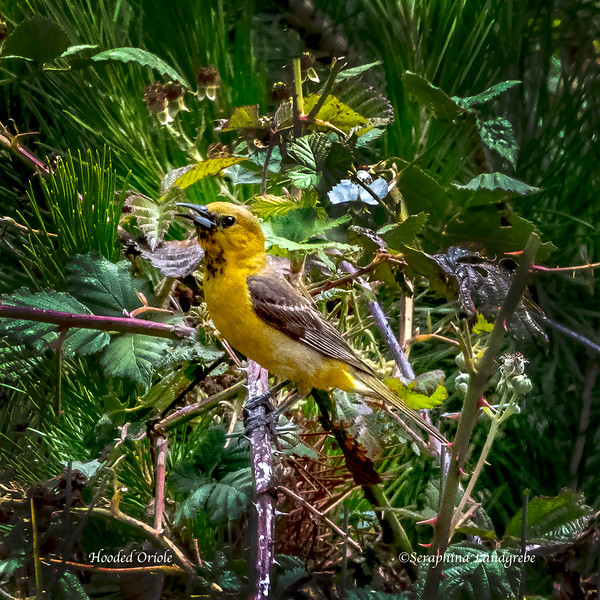 _DSC1708Hooded Oriole.jpg