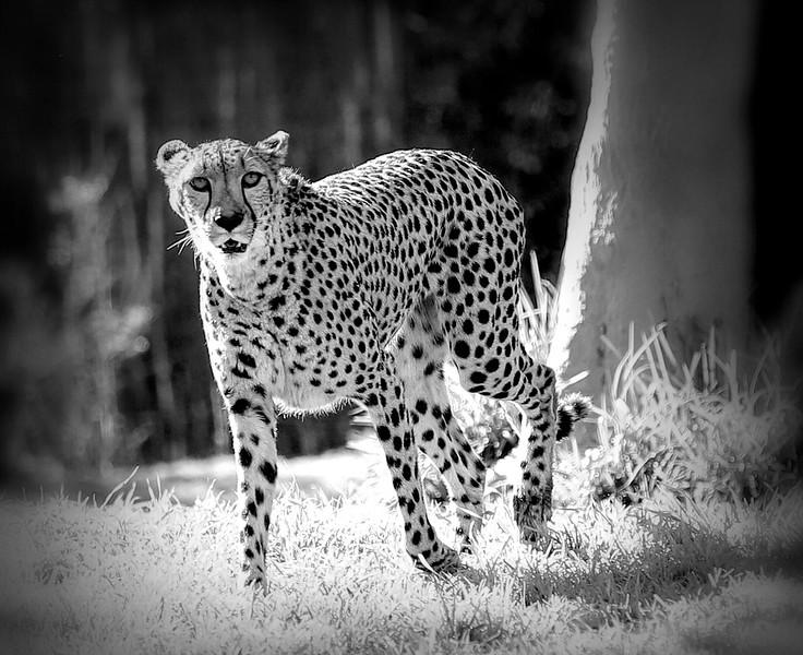 IMG_6687 Cheetah 2.16.2019- Cheetah BW Topaz Hummimgbird I-Edit.jpeg