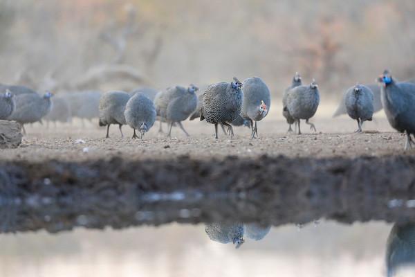Guinea Fowl Mashatu Botswana 2017