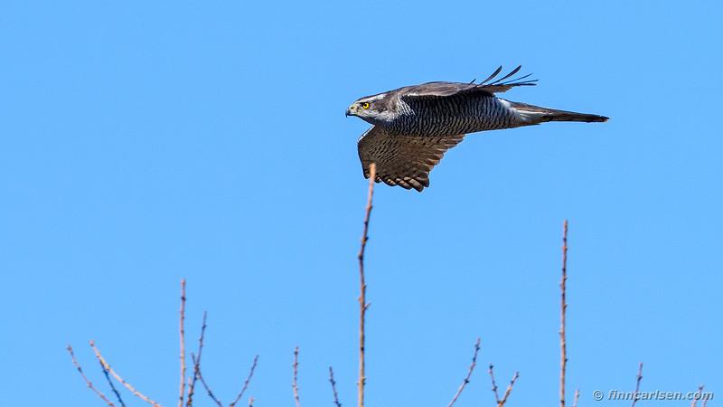 Duehøg - Accipiter gentilis - Northern goshawk