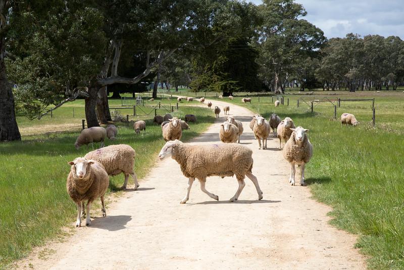 Sheep 14.jpg
