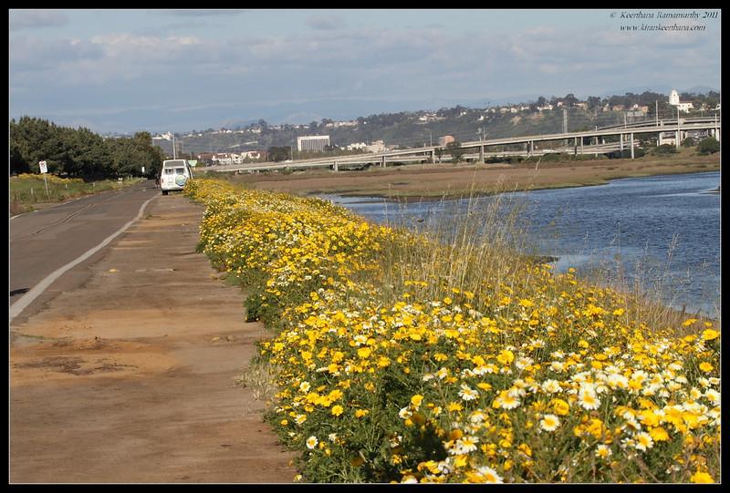 Spring bloom along Flood control channel side, San Diego RIver, San Diego County, California, April 2011