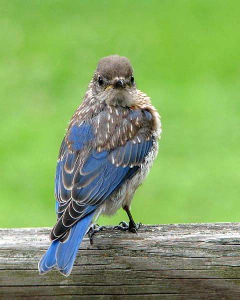 bluebird_fledgling_0332.jpg