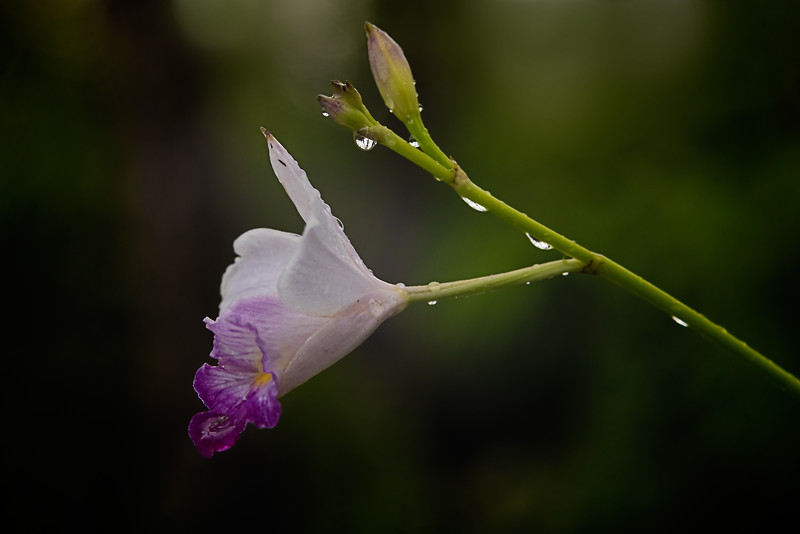 Orchid in Rain