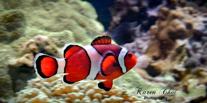 Clown Fish sm.jpg