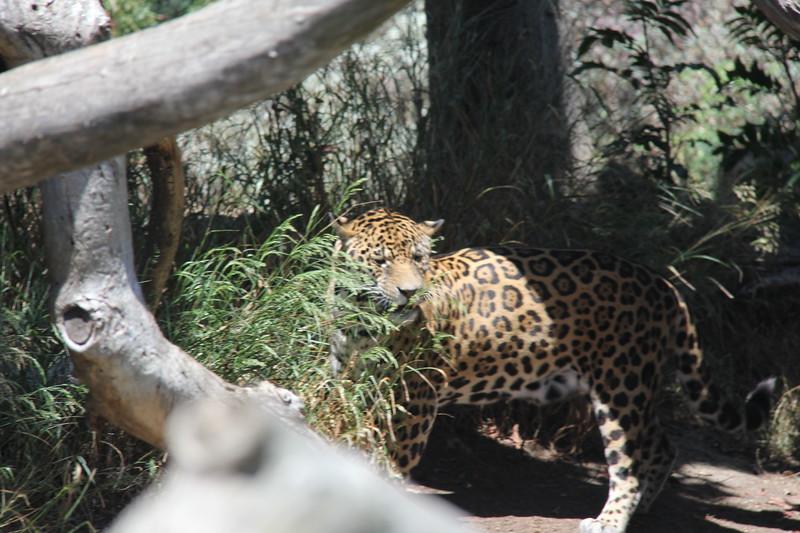 20170807-103 - San Diego Zoo - Leopard.JPG