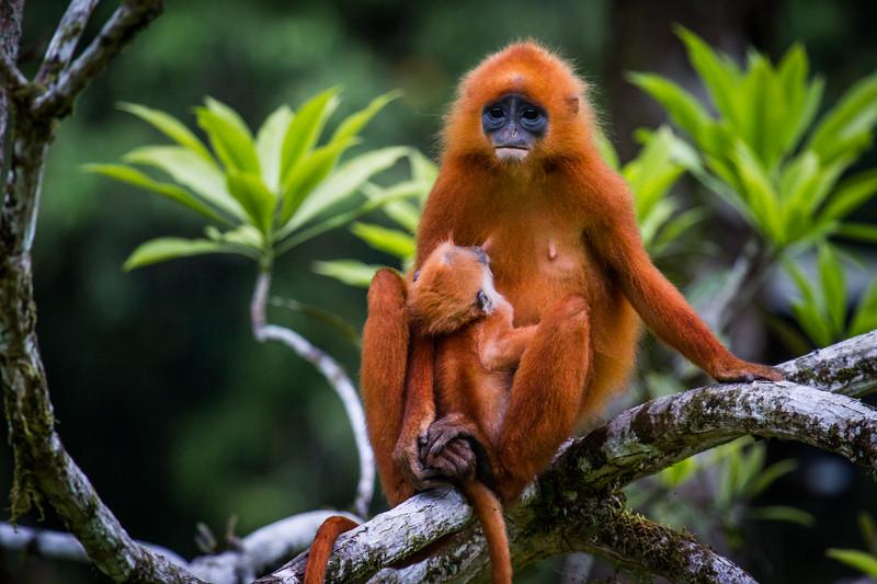 Red Leaf Monkey (Presbytis rubicunda), Danum Valley, Borneo
