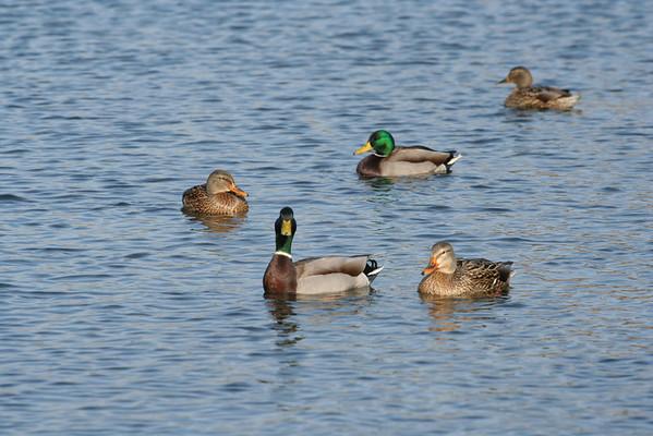 2008 - Misc. Ducks