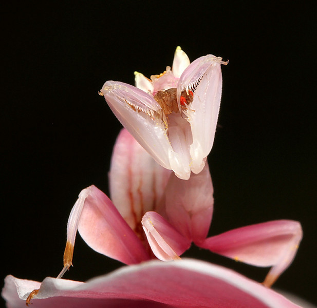 Ignorant Fruit Fly In Orchid Mantis.jpg