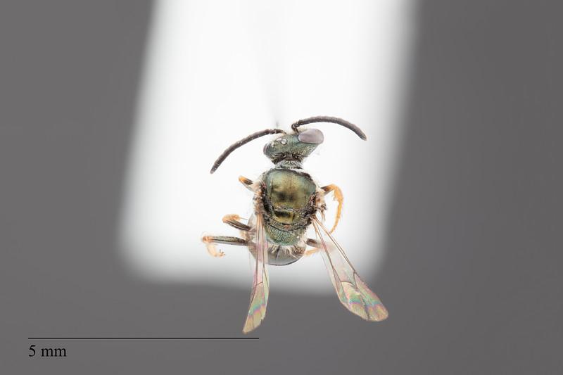 Homalictus groomi