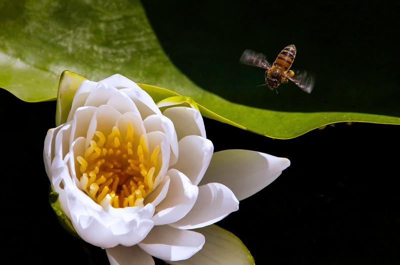 BEE-LILLY.jpg