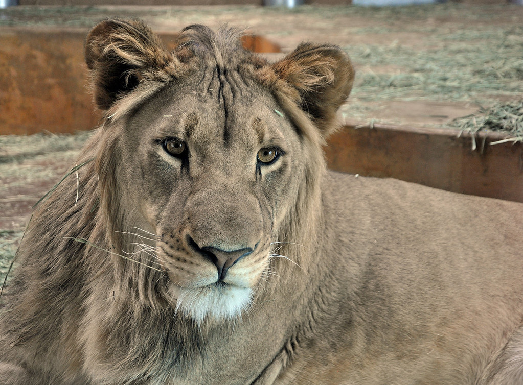 . This male, Elson, is one of two wild-born African lions that are the focal point of Cheyenne Mountain Zoo\'s Lion\'s Lair in Colorado Springs.  Photo provided by Cheyenne Mountain Zoo