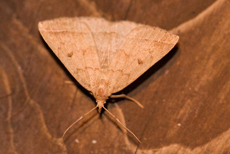 Zanclognatha - Wavy-lined - (Zanclognantha ochreipennis) - Dunning Lake - Itasca County, MN