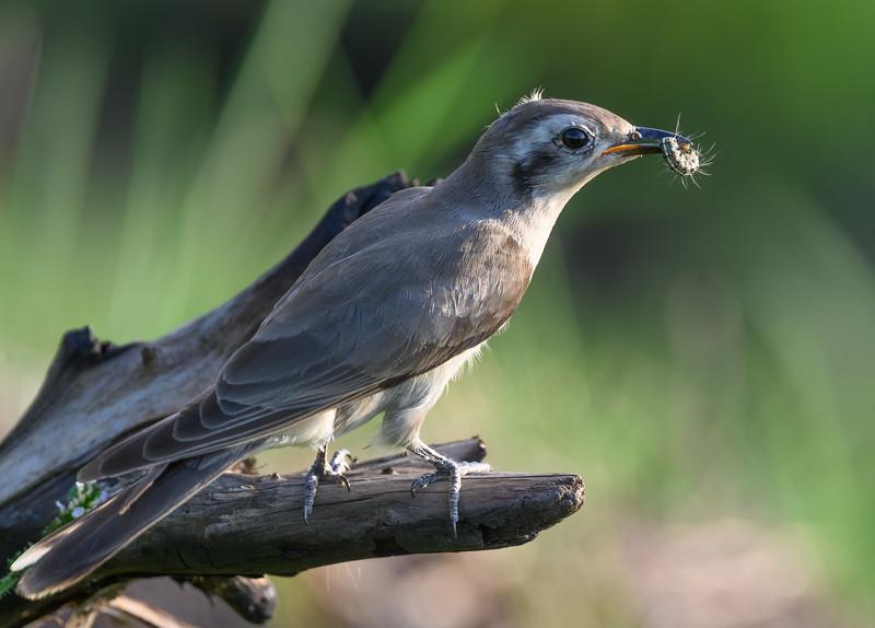 Black-eared Cuckoo at Fogg Dam