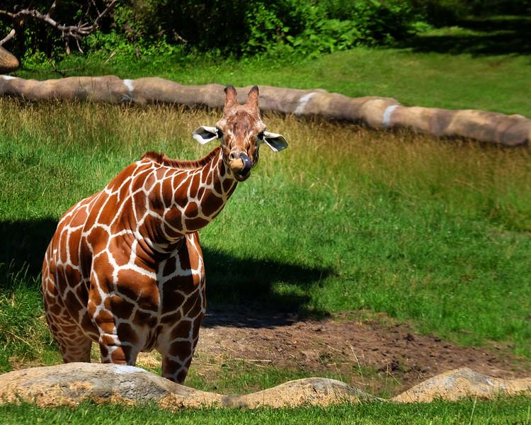 Detroit Zoo Giraffe Large.jpg