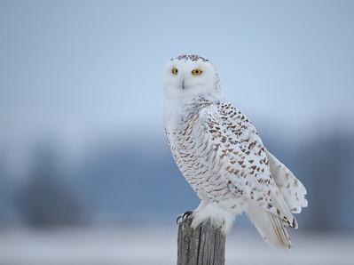 SNØUGLE - Snowyowl
