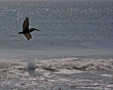 Travel - Duck 2010- Pelicans