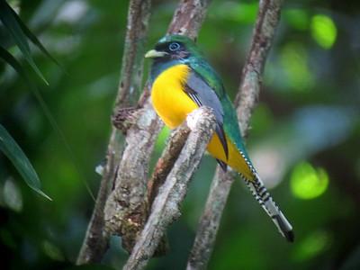 Panama Birds  (100+ Species)