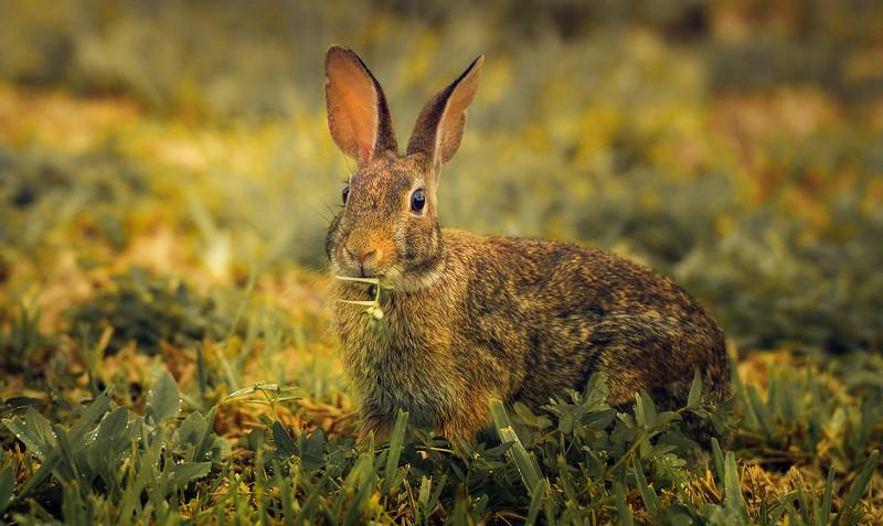 Florida Marsh Rabbit - 9.jpg