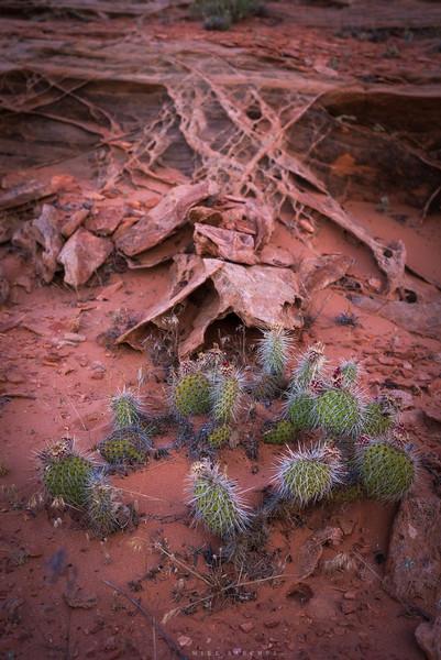lace rock cactus.JPG