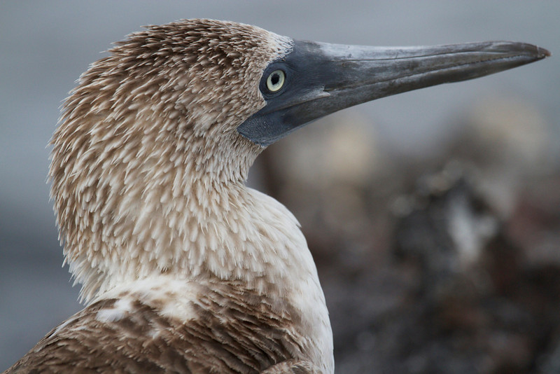 Blue Footed Booby - Profile