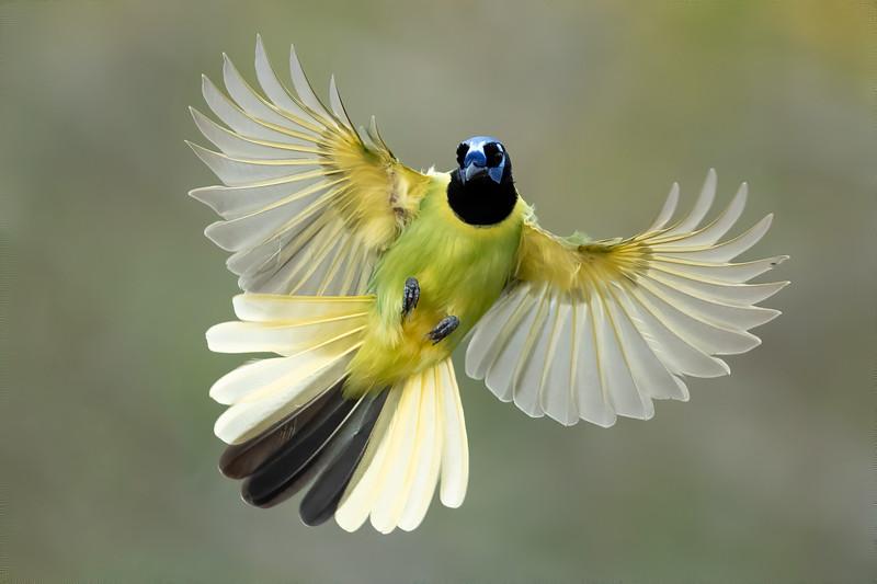 Green Jay in flight