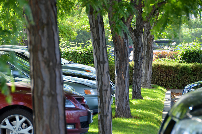 2012-7-17 ––– I was just walking from my car to the office and paused as I noticed the tree trunks lined up and the lush green of the parking lot. For a desert and being in a drought, we are still extremely green.